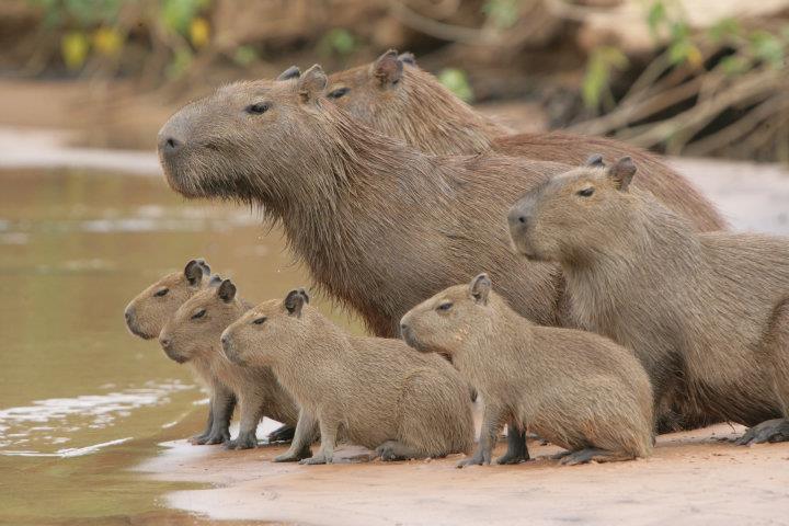Capybara Family Source: Altina Wildlife