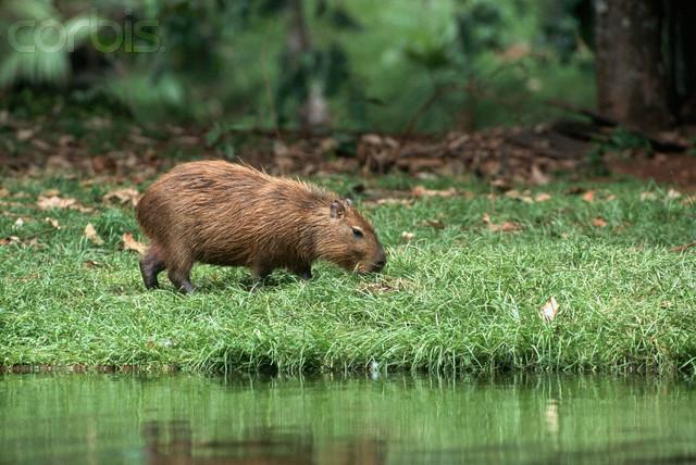 ca. 1995, Brazil --- Capybara Eating Grass --- Image by © Tom Brakefield/CORBIS