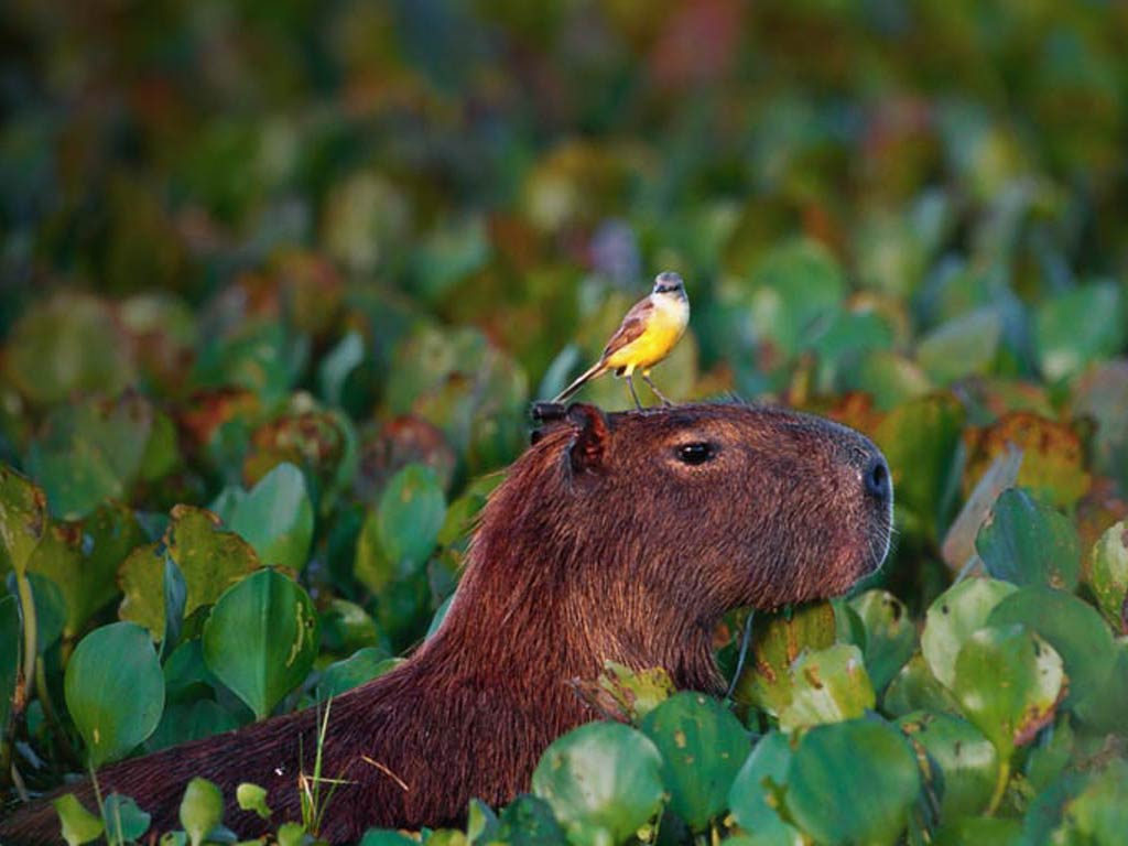 Capybara Wallpaper Source: Animals Town