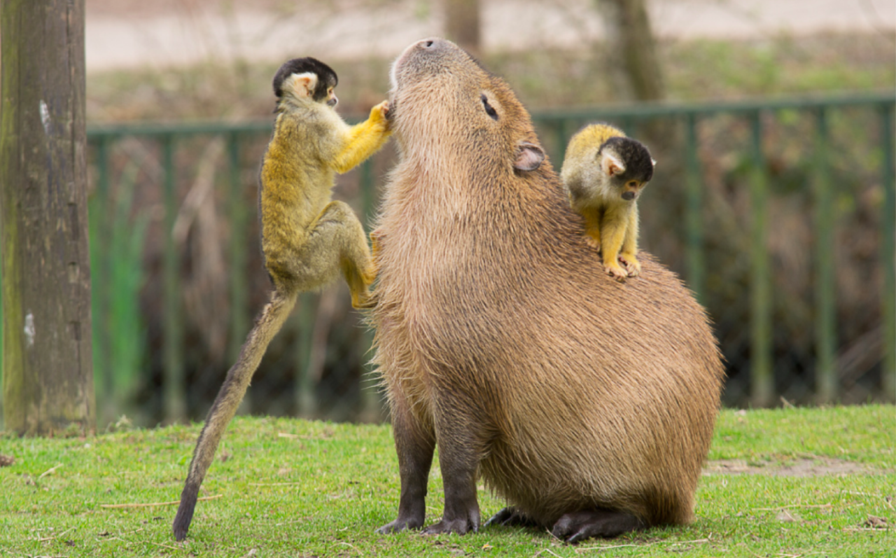 Making Friends With A Capybara The Great Beyond